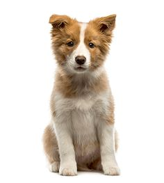 See only the cutest & most adorable pictures of border collie puppy dogs right here . More puppy pics are added almost daily for your enjoyment . Puppy Pictures, Puppy Pics, Adorable Pictures, Border Collie Pictures, Border Collie Puppies, Puppy Breeds, Mammals, Dogs And Puppies, Corgi