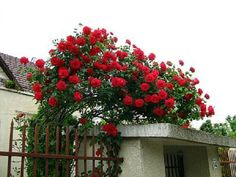 1000 Images About Red Climbing Roses On Pinterest