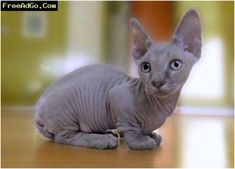 Top 10 Rare Cat Breeds