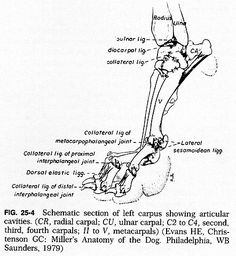 Dog Leg Skeletal Anatomy | FRACTURE AND DISLOCATION OF THE CARPUS