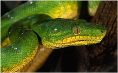 Green Snake Wallpaper | black green snake wallpaper, green snake wallpaper, green vine snake wallpaper