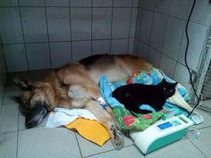 Résident permanent d'une clinique vétérinaire de Perm (Russie), Lucifer est LE chat dont les patients poilus et leurs soignants ne peuvent se passer…
