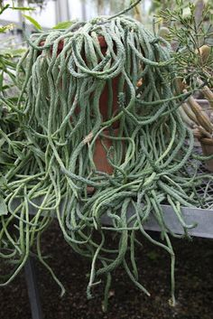 Euphorbia 'Medusa' forms a twisting, crawling mass of snake-like branches! This intriguing succulent from South Africa grows scaly arms that can reach 3 feet long. It's named for the Greek mythological monster who had snakes for hair.