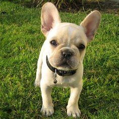 Meet Chunky, the French Bulldog Puppy French Bulldog Puppies, French Bulldogs, Like Animals, Baby Animals, Cute Puppies, Cute Dogs, French Bulldog Pictures, Crazy Dog Lady, Bull Dog