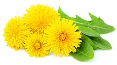 Flowers dandelions with leaves close-up isolated on white background. Dandelion Plant, Dandelion Leaves, Dandelions, Weeds In Lawn, Taraxacum Officinale, Leaf Drawing, Life Cycles, Perennials, Close Up