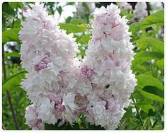 Syringa v. 'Krasavitsa Moskvy' (Beauty of Moscow) - had in Steveston garden An exquisite variety, highly-rated year after year. Pale pink buds open to palest blush-white florets.