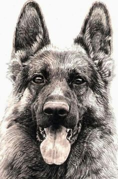 Animal Sketches, Animal Drawings, Pencil Drawings, German Shepherd Dogs, German Shepherds, Schaefer, Dog Paintings, Dog Portraits, Dog Art