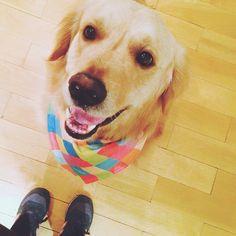 O Tommy de bandana colors @alldog_ #patudos #cachorro #pet #dog #goldenretriever
