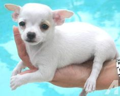 White Teacup Chihuahua Full Grown