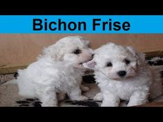 Adorable Bichon Frise Puppies Compilation - YouTube
