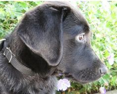 Pierre, male black Labrador puppy in training for Guide Dogs for the Blind
