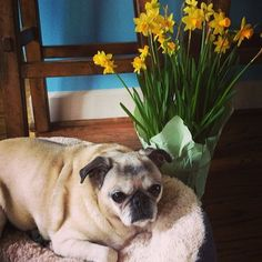 http://seriouslymabelgreetings.tumblr.com/post/76855117193/a-few-daffodils-for-my-tulip-3-pug-pugs