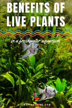 Benefits of Live Plants in a Freshwater Aquarium You should try to keep live plants in your aquarium. We have all the details on the benefits here. Aquarium Fish Food, Tropical Fish Aquarium, Live Aquarium, Planted Aquarium, Aquarium Ideas, Aquarium Set, Fish Aquariums, Freshwater Aquarium Plants, Tropical Freshwater Fish