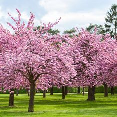 Cherry Blossom Tree Facts That You Definitely Never Knew Before