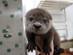 baby sea otters maybe the cutest animal of all
