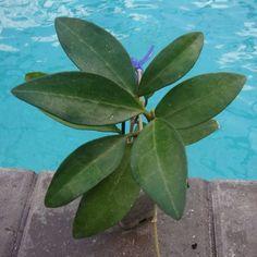 Hoya elliptica $$$$ SRQ 3195 [3195] - $26.00 : Hoya Plants and Cuttings