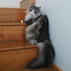 Odin, Norwegian Forest Cat  #Skogkatt
