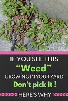 "IF YOU SEE THIS ""WEED"" GROWING IN YOUR YARD, DON'T PICK IT! HERE'S WHY… #IfYouSeeThisWeedGrowinInYourYardDon'tPickUpIt"