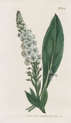 Veined-Flowered Speedwell from 1815 Curtis Botanical Magazine Red, Orange Highly Decorative Prints