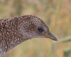 Swinhoe's Rail Coturnicops exquisitus - Google Search