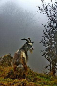 Misty Mountain Goat by thefutureisbright