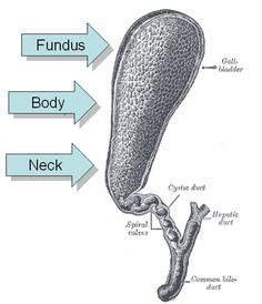 The gallbladder is a hollow organ that sits just beneath the right lobe of the In adults, the gallbladder measures approximately 8 centimetres in) in length and 4 centimetres in) in diameter when fully distended. After Gallbladder Surgery, Gallbladder Flush, Rectus Abdominis Muscle, Liver Flush, Asking To Prom, Bile Duct, Family Doctors, Diet Tips, Body