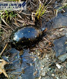 A Beautiful Spotted Turtle!