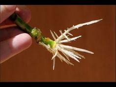 Помимо готовых стимуляторов роста, применяемых для успешного черенкования деревьев и кустарников, например, бета-индолилмасляная кислота или же гетероауксин,...