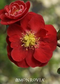 Double Take™ Scarlet Storm Flowering Quince - Monrovia - Double Take™ Scarlet Storm Flowering Quince