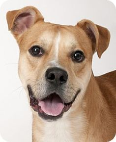 Chicago, IL - American Pit Bull Terrier/German Shepherd Dog Mix. Meet Polo, a dog for adoption. http://www.adoptapet.com/pet/12307664-chicago-illinois-american-pit-bull-terrier-mix