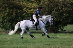 FANTASTIC TOP QUALITY CONNEMARA PONY/RIDING CLUB PONY KIND AND TOTALLY GENUINE All Rounder Horse for sale in East Yorkshire, North East!