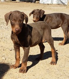 www.elitek-9.com  #doberman, #protectiondogs, #CEO, #militaryk9, #exotics #vonriesig Doberman Pinscher, Exotic Cars, Labrador Retriever, Pitbulls, Puppies, Dogs, Animals, Labrador Retrievers, Animales
