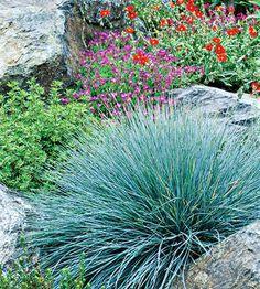 Blue Fescue native grass edging - Google Search