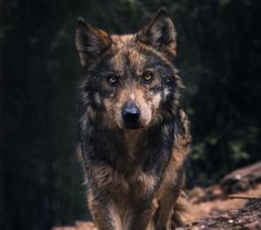 Mexican wolf shot at Cheyenne Mountain Zoo in Colorado Beautiful Wolves, Beautiful Dogs, Animals Beautiful, Wolf Photos, Wolf Pictures, Cheyenne Mountain Zoo, Wolf Hybrid, Wolf Spirit Animal, Wolf Stuff