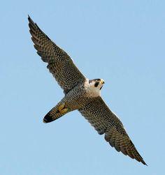 Peregrine Falcon by John Heidecker