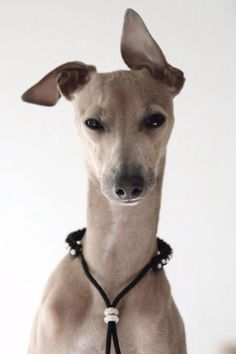 In case you didn't know Greyhounds are absolutely sweethearts. They are gentle, patient, loving creatures AND they make the most amazing pets. Just to make sure you seriously consider adopting a Greyhound if you ever want a dog (or even if you want to expand the pack you already have) here are 26 excellent reasons to adopt a Greyhound !