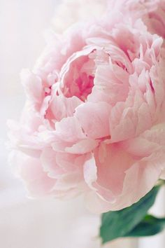 ZsaZsa Bellagio: Pale pink peony - is there any bloom more romantic. always reminds me of a pink ruffled cabbage rose. My Flower, Pretty In Pink, Pink Flowers, Beautiful Flowers, Perfect Pink, Peony Flower, Fresh Flowers, House Beautiful, Simply Beautiful