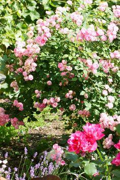 6 Wege zu gesunden Rosen ohne Chemie
