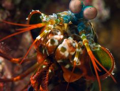 peacock mantis shrimp -- Not a mantis, not a shrimp, but a stromatopod.  It smashes with its claws and has been known to break aquarium glass.