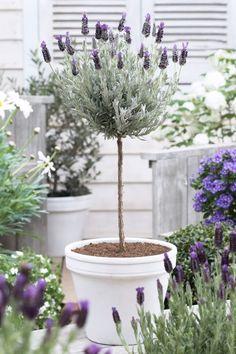 Lavender Topiary in White Pot