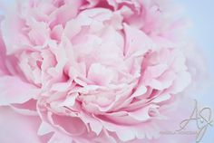 A pink fluffy peony