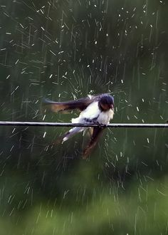 "✿ ❤ ☂ ""Photo of a swallow standing on a power line, taken in a rainstorm."" by Rob Whittaker on Flickr"