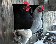 Keep those #chickens warm! Here are Six Winter Chicken Keeping Tips