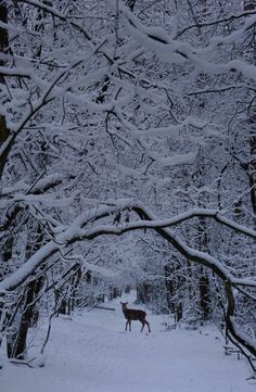 Listening to your own heartbeat when meeting a winter Deer (by Ben). This looks like our woods in the winter when it snows. I Love Snow, I Love Winter, Winter Is Coming, Winter White, Winter Magic, Winter's Tale, Snowy Day, Snowy Woods, Winter Scenery