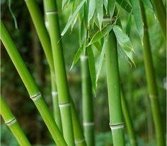 Bamboe 2