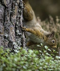 Voice of Nature - cuiledhwenofthegreenforest:  Red Squirrel by...