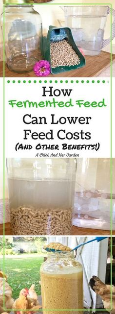 Fermented feed is not only amazing for chicken health, it helps to lower your feed costs too!  Check out the benefits and see how to make your own! #portablechickencoops