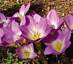 It's hard to imagine fall without the magical appearance of Colchicums. Their bright, vase-shaped blooms rise without warning and glisten in the sharp light of autumn. Dream Garden, Flowers, White Flower Farm, Backyard Design, Bloom, Rhizome, Flower Vases, Fall Bulbs, Gravel Garden