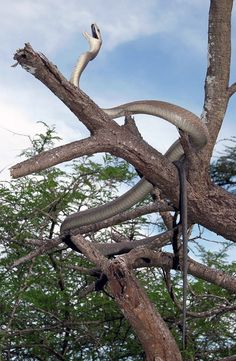 Dendroaspis polylepis - Black Mamba (Africa's Most Feared Snake) Les Reptiles, Reptiles And Amphibians, Mammals, Beautiful Creatures, Animals Beautiful, Black Mamba Snake, Cool Snakes, Snake Venom, Beautiful Snakes