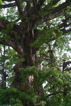 The Cotton Tree in Freetown Sierra Leone